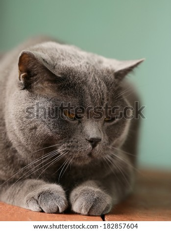 pet - British shorthair cat with orange eyes