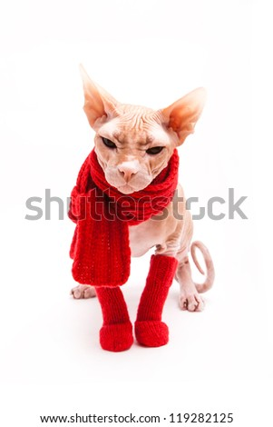 pet cat sphinx warm with red scarf and socks