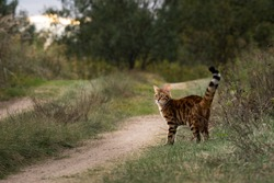 Pet cat stands on the side of a rural road and looks back.