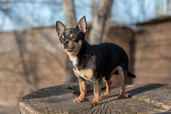 Pet dog Chihuahua walks on the street. Chihuahua dog for a walk. Chihuahua black, brown and white. Cute puppy. Mini breed Chihuahua Smooth Shorthair. adorable puppy posing outdoors