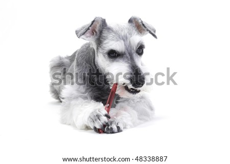 Pet dog that does toothbrush