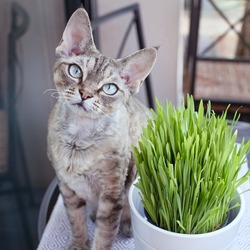 pet grass, cat grass