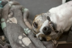 Pet greyhound's funny face as she lies in her dog bed. Focus on her eyes, but long neck and face visible too. Paw patterned dog blanket.
