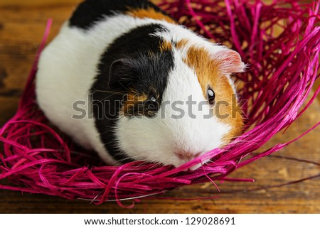 pet guinea pig in a pink net
