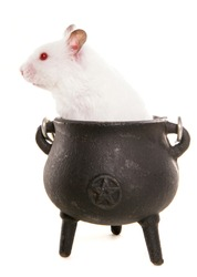 Pet Hamster in a cauldron isolated on a white background