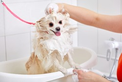 pet in grooming salon, domestic animal get shower, domestic animal get beauty procedures in beauty salon for dogs. in bath