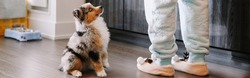 Pet owner training puppy dog to obey. Cute small dog pet sitting on floor looking up on its owner waiting for treat food. Home life with domestic animal. Well behaved animal. Web banner header.
