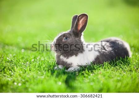 Pet rabbit on green grass