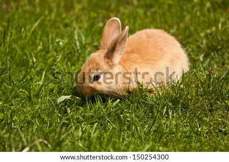 Pet rabbit (Oryctolagus cuniculus)