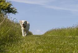 pet retriever dog happy walking on bright sunny day