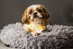 pet shih tzu in dog bed looking cute and fluffy with flower collar neckerchief bandana