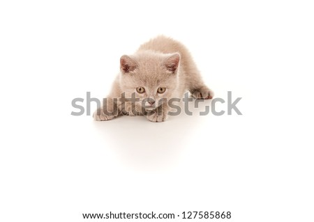 pet small young British kitten isolated