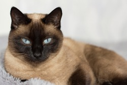 pet, Thai cat with blue eyes lying on the couch, breed Thai cat color  seal point