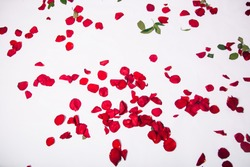 Petals scattered from red roses on a white background. Live cut flowers