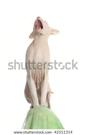 Peterbald hairless cat on the green sofa
