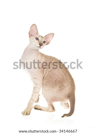 Peterbald hairless cat spotted tabby, on white background