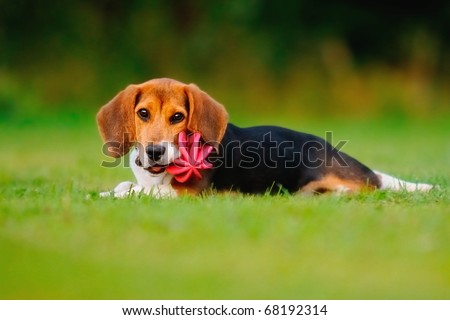 petite happy beagle puppy dog plays with a ball