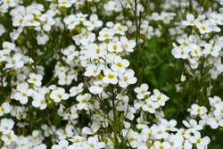 Petite snow white flowers of Lobularia maritima Alyssum maritimum, sweet alyssum or sweet alison, alyssum genus Alyssum is a species of low-growing flowering plant in the family Brassicaceae.