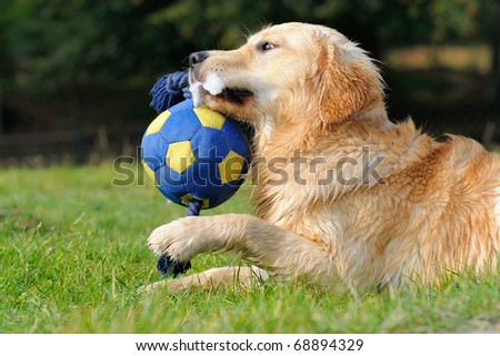 petite young Golden Retriever plays with ball