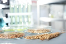 Petri dishes with cereal grains on table in laboratory. Chemical laboratory