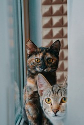 Pets at window. Two domestic cats look at camera. Pussycat is sitting on windowsill. Tabby kitten peeks out from behind curtain.