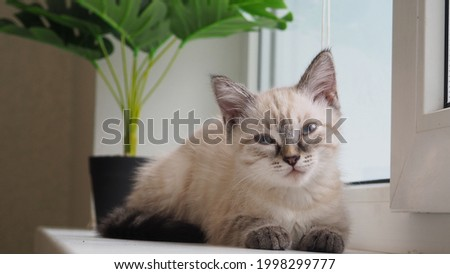 pets. the cat washes itself on the window. home comfort. animal care Stock foto ©