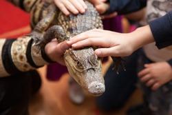 Petting zoo, kids touch the crocodile