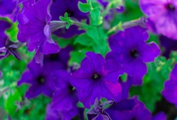 Petunia. A delicate flower. The Bush petunias. Flower bed. The cultivation of flowers.