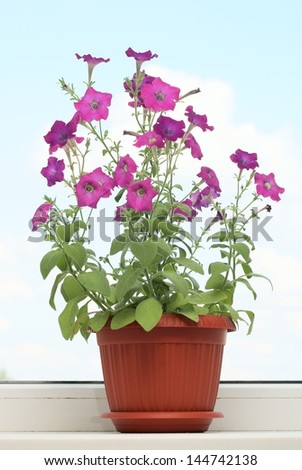 Petunia. Cultivation of a petunia on a window sill