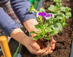 Petunia flower in children's hands. Planting balcony flowers.
