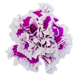 Petunia flower, isolated on a white background
