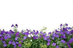 Petunia flower on white background