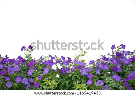 Petunia flower on white background