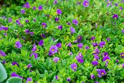Petunia flowers blooming in summer garden, beauty in nature