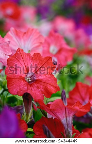 Petunia. Flowers for arrangement of green spaces.