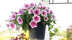 Petunia Flowers In Hanging Flower Pot