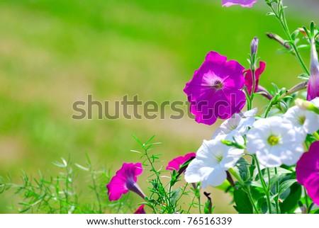 petunia flowers in sunlight with blurred bokeh
