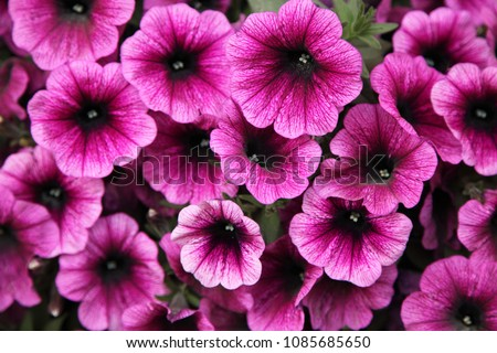 Petunia flowers in the garden