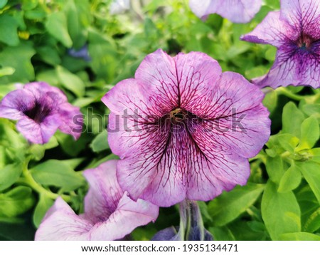 Petunia is a soft Wood a short bush with a variety of colors blooming all year round tolerates hot weather well and is commonly grown in a pot Stock fotó ©