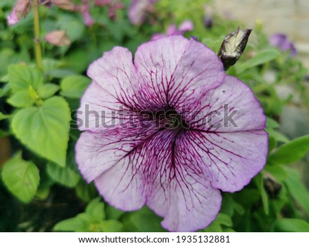 Petunia is a soft Wood with a short bush with a variety of colors blooming all year round tolerates hot weather well and is commonly grow in a pot Stock fotó ©