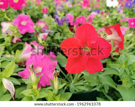 Petunia is a soft Wood with a short bush with a variety of colors blooming all year round tolerates hot weather well and is commonly grown in a pot Stock fotó ©