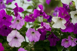 Petunia is purple, pink and white. Floral background from petunias.