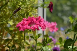 Petunia on the balcony. Closeup pink flower with frilly edges