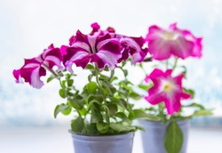 Petunia, Petunia in a pot, pink flower on the table, colorful petunia. Seedlings. Selective focus.