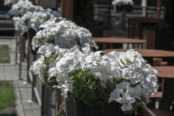 Petunia The Mayan and Incas believed that petunias have the power to chase away (with their odor) the underworld monsters and spirits. Their flower-beds were bunched together for magical drinks.