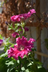 Petunia with bright pink flowers with frilly edges. Balcony greening.