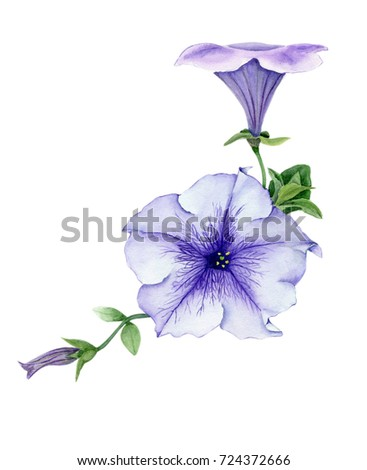 Petunia with bud and leaves on white background