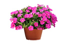 Petunias, colorful flowers in pots, isolated on a white background. Clipping path