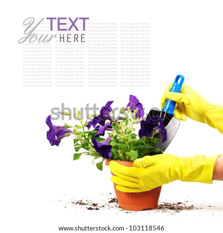 Petunias flowers in spot with woman hand and garden shovel