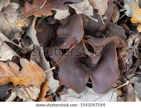 Peziza badia mushroom fungus. Aka Bay cup. Leathery brown, if you touch it gently a vast amount of spores fly out.
